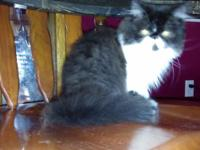 Angel is a beautiful black and white Persian with a
