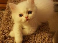 One white, blue eyed male persian kitten ready now for