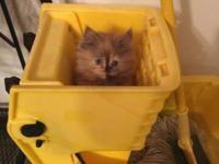 Beautiful Persian female kitten needs her forever home