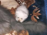 I have two male persian kittens for sale. I have 1
