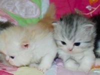 Persian kitten, variety of colors , bicolor and 1