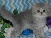 Persian female 8 weeks old kitten with pic update READY