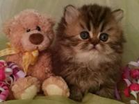 CFA Registered Persian - Brown Tabby - Female -