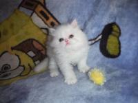 We have an all white C.F.A registered Persian kitten