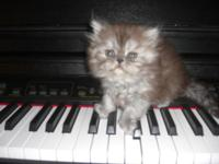 HE IS A VERY BEAUTIFUL PERSIAN KITTEN. 5 WEEKS OLD. HIS
