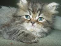 I HAVE A BLACK TABBY MALE PERSIAN KITTEN, BEAUTIFUL