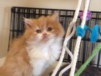 Gorgeous pure bred CFA registered Persian kitten for