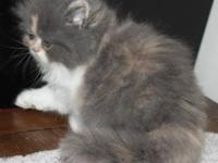 Persian Kitten,Beautiful Calico Female, Registered with