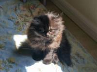 Available now. Adorable black doll Face Persian kitten