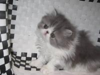 Available for purchase is a darling blue tabby and