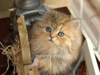 Flat Face cream point male Himalayan kitten These are