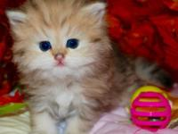 Outstanding color and personality Persian kitten ,