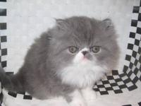 Available for purchase are three persian male kittens