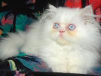 Very handsome a sweet baby boy, loves to be a lap cat,