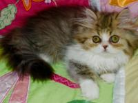 Persian kitten from 350 ( one kitten available brown