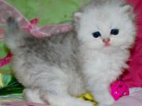 This Persian silver female will have green or go;den