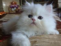 Gorgeous White Persian Kitten : 6 weeks old female CFA