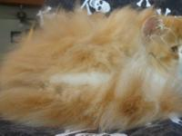 I have 2 red tabby and white Pure persian kittens that