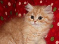 Persian Kittens, CFA Registered. Two doll face males