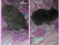 Teacup Persian kittens .. 9 to choose from 4 different