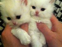 There are adorable kittens only 8 weeks old,. One child