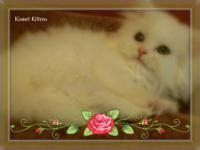 Persian Kittens for Sale- Reserve for the Holidays! The