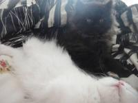 Adorable Persian Kittens looking for forever home