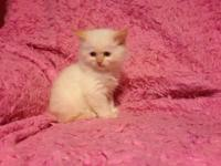 I have four Persian kittens two white males and a gray