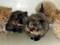 beautiful precious Persians. 7 weeks old ready to go to