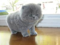 PERSIAN KITTENS-BLUES & CREAMS. MALES AND FEMALES. WILL