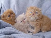 Little fluff balls full bred but not registered. M/F,