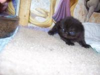 cfa persian babies that leave here at ten weeks
