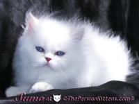 hi we have a very beautiful litter of Persian kittens,