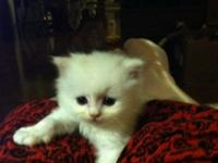 Stunning Persian kitties with long, plush layers. They