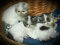 Brown tabby and white female persian kittens. Birthday
