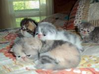 Sweet healthy Persian kitten males. will be ready to go