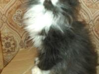 I have 3 Persian kittens for sale. One male, two