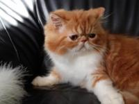Persian kittens well bred, sweet, loving, playful. CFA