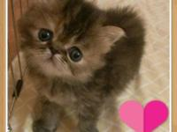 I have pure breed Persian kittens available that need