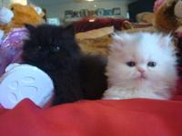blue teacup persian kittens for sale in Florida Classifieds & Buy ...