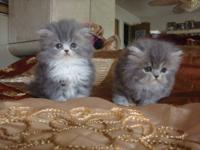 Gorgeous Persian kittens 6 weeks old : Blue-White