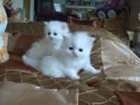 Adorable Persian 5 weeks old white kittens male and