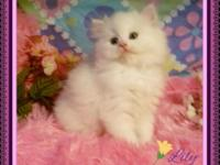 Daisy and Lily are snow white Persian babies green