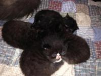 Persian (Exotic shorthair) kittens 4 sweet little