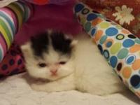 I ALSO HAVE TWO OLDER KITTENS FOR SALE LISTED ON THIS