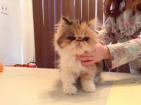 I have 5 Persian kittens for sale.  Prices,