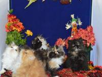 Stunning Persian kittycats for sale. 1 female