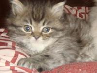 I have the cutes most healthy Kittens for Sale! The