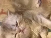I have 5 precious persian kittens for sale. They have