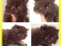 We have 3 dollface chocolate females offered. They are